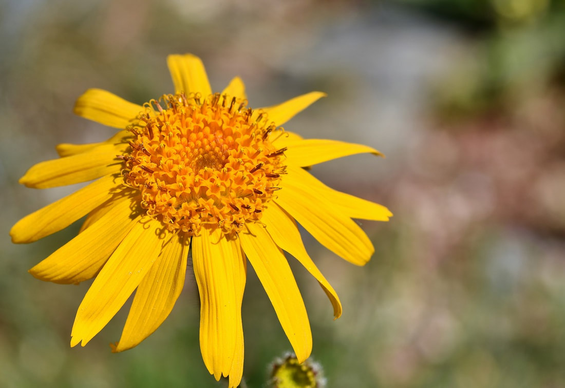 Arnica montana homeopathy for wisdome tooth extraction